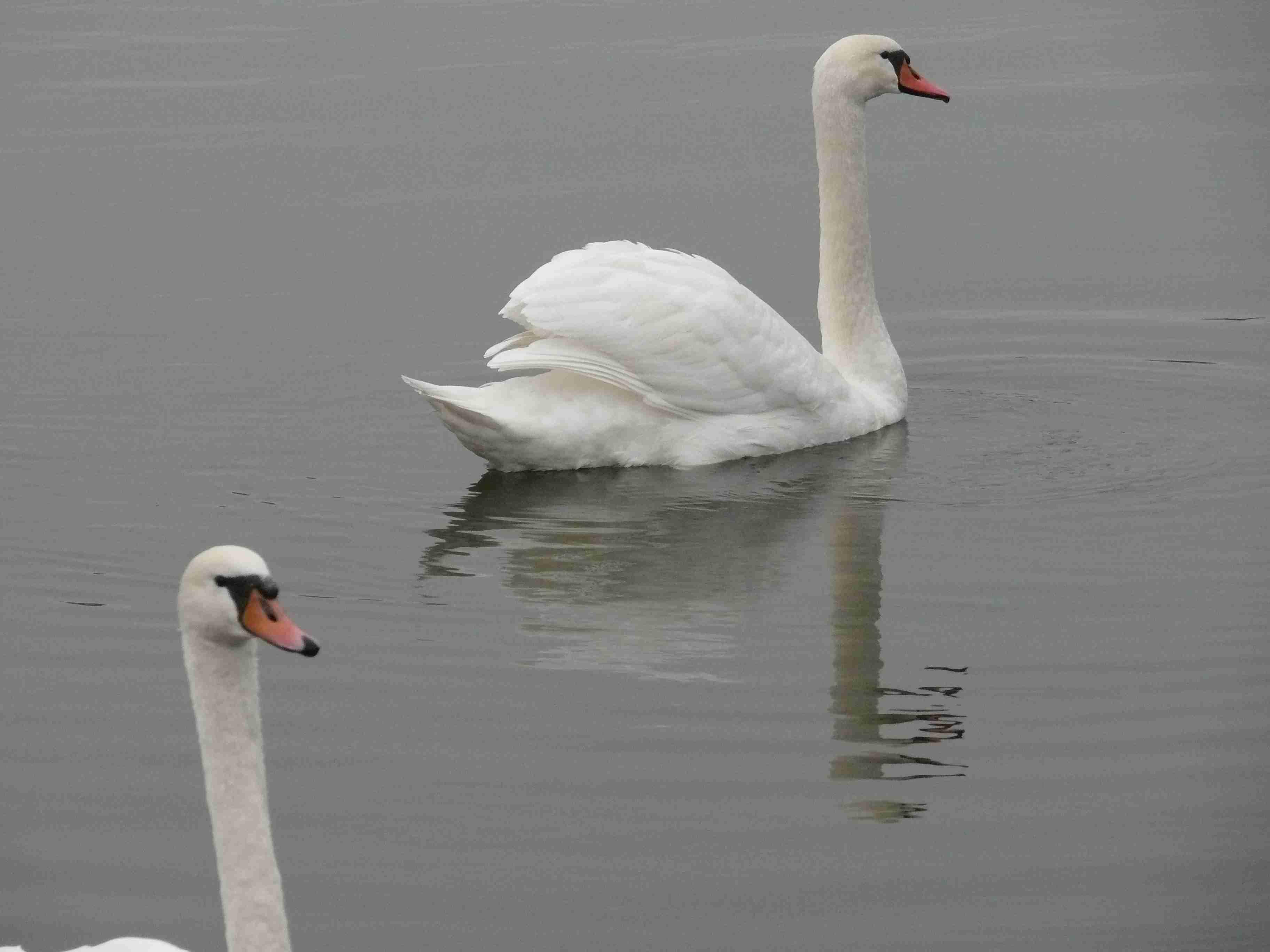 dvě labutě na rybníku